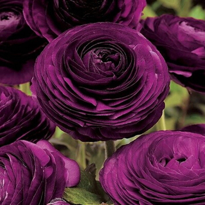 Ranunculus asiaticus Flower Seeds For Home & Garden DIY Plants Persian Buttercup Seed Flower Bulbs - 20pcs/lot(China (Mainland))