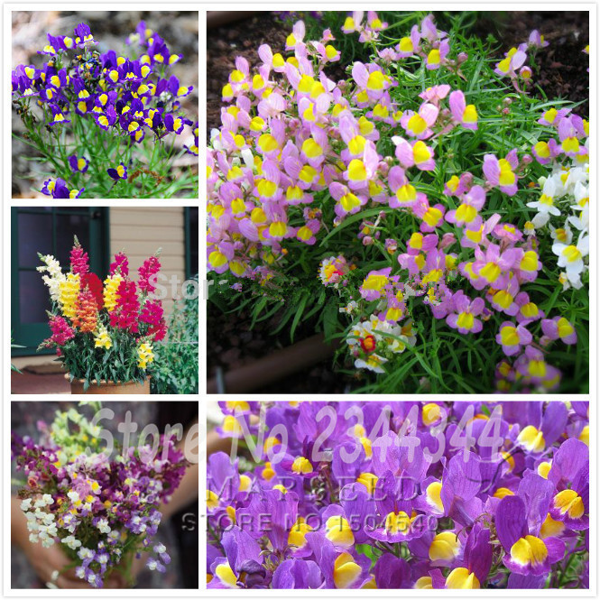 400 Linaria maroccana Seeds, Snapdragons mix color reseed itself Easy to grow, beautiful home garden flower(China (Mainland))