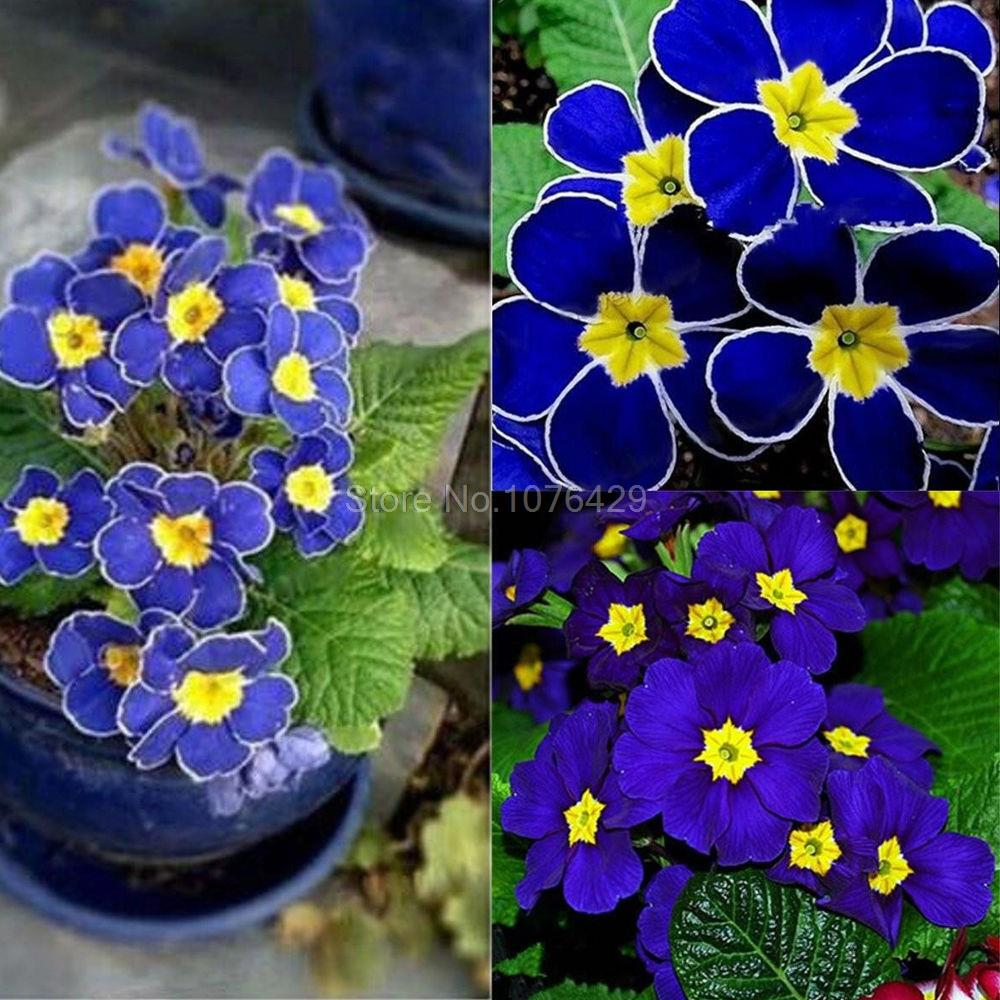 Flower Garden Picture More Detailed Picture About 100 Rare Blue Evening Primrose Seeds
