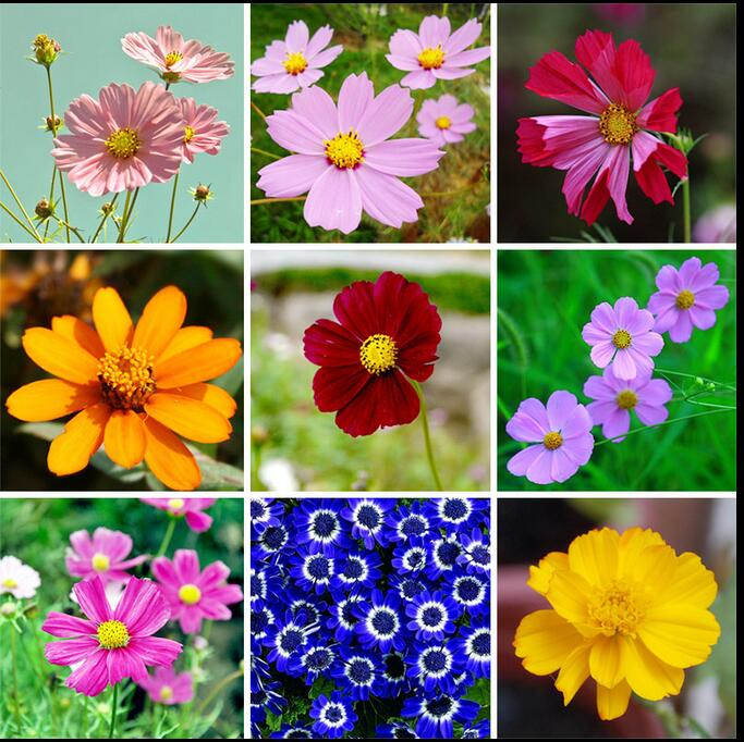 50 seeds 24 kinds of potted cosmos seeds Gesang seed Cosmos eight broom plum plum seeds(China (Mainland))