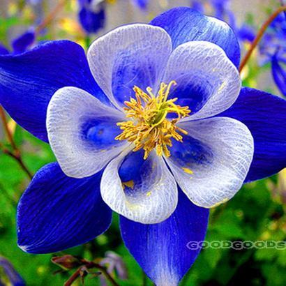 Карликовое дерево skgs /80 карликовое дерево china seeds pubao 60pcs slipperwort skgs ythg56t