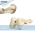 CMAM TF07 Synthetic Bones Femur Left or Right SWABone Models Skeleton of Lower Limb