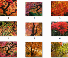 30 pc/PACK 10kinds JAPANESE RED MAPLE Tree Seeds BEAUTIFUL * JAPAN MAPLE SEEDS