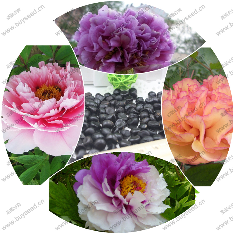 Peony seeds potted paeonia suffruticosa seeds peony flower 16 colors variety complete 100% fresh real seed 20 pcs / bag(China (Mainland))