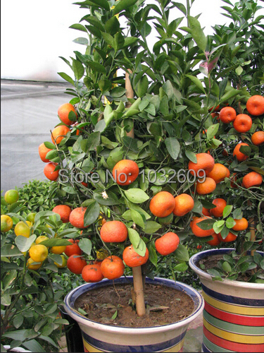 40pcs/lot Mini potted edible fruit seeds bonsai orange seeds tangerine sementes frutas china climbing orange tree seeds(China (Mainland))
