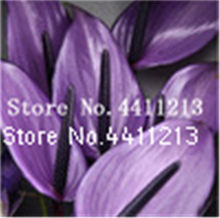 100 قطعة بونساي أنثوريوم أنثوريوم andraeanum الزيزفون Araceae المعمرة داخلي دائم الخضرة عشب زهرة ل ديكور حديقة المنزل(China)