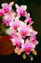 تخفيض السعر! بوعاء الزهور السحلية بونساي Cymbidium حديقة الزيز السحلية Cymbidium السحلية عندما المزهرة 100 قطعة ، # T4TKSW(China)