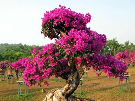 Semi di bouganville viola bonsai pianta giardino 10 semi for Pianta bouganville